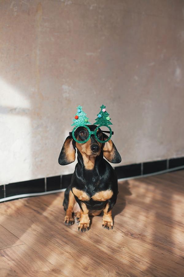 Dackel mit Weihnachten-Brille